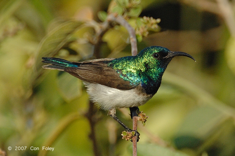 Sunbird, Whitebellied (male)