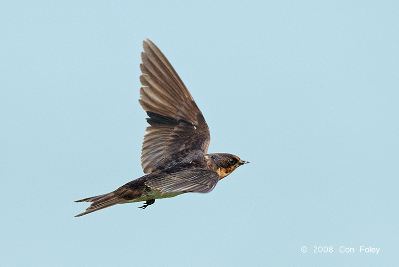 Swallow, Pacific @ Changi