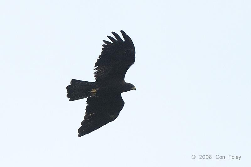 Eagle, Black @ the Dump