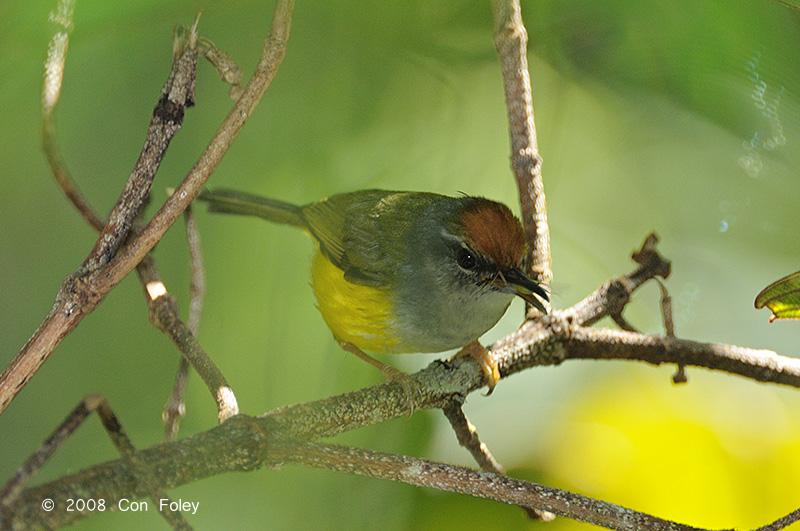 Tailorbird, Mountain @ Mesilau