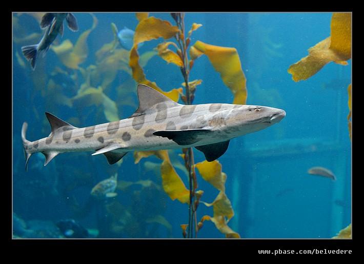 Leopard Shark, Monterey Bay Aquarium, CA