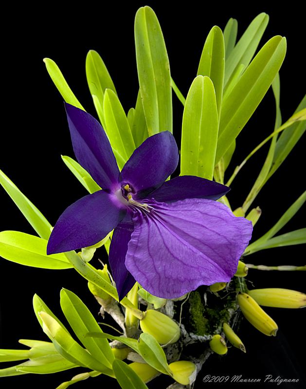 Miltonia spectabilis var moreliana MAX AM/AOS