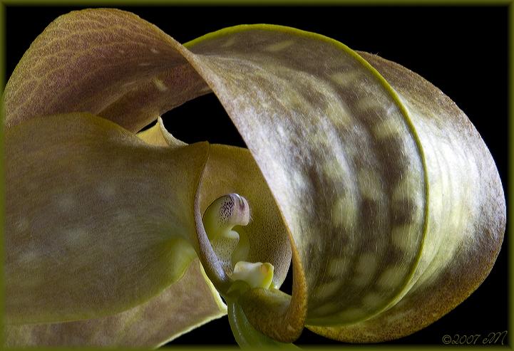 Bulbophyllum grandiflora