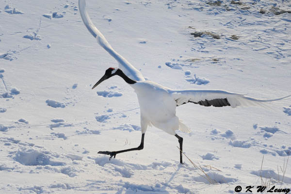 Red-Crowned Crane DSC_9610