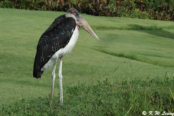 Marabou Stork 02