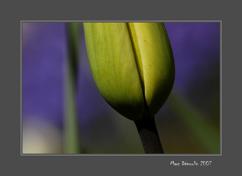 Young tulip