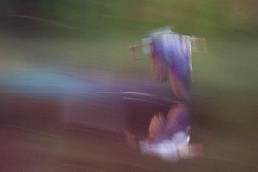 Dawn Heron In Flight 20080812