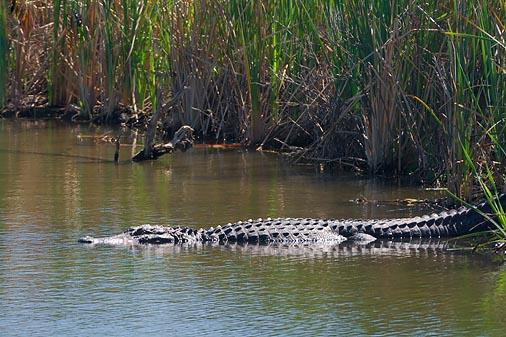 Alligator 43182