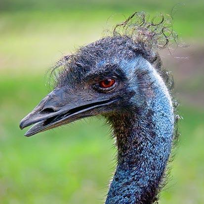 Emu Closeup 06128