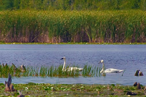 Swans In McLaren Marsh 50804