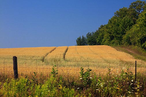 Golden Field 05561