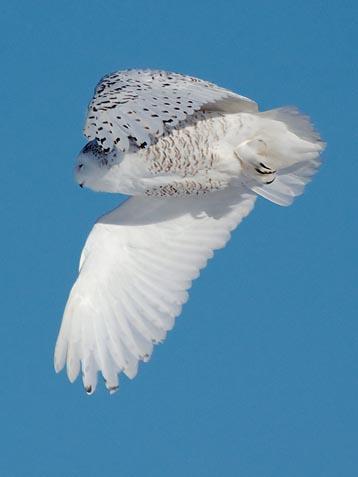 Snowy Owl In Flight 20100109
