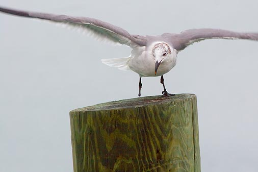 One-Footed Gull 49352