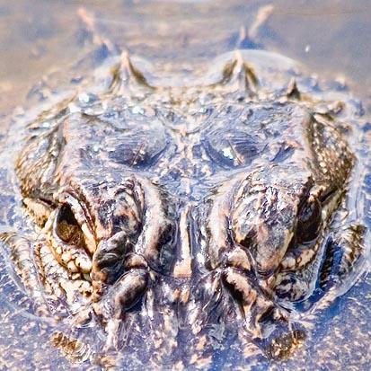 Alligator Eyes 58340 (crop)
