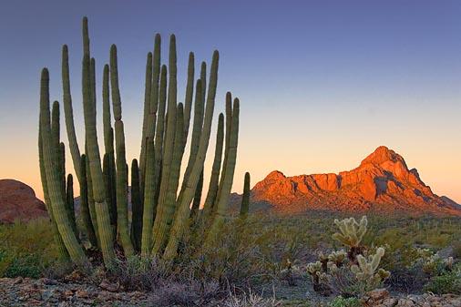 Organ Pipe Cactus At Sunrise 20080210