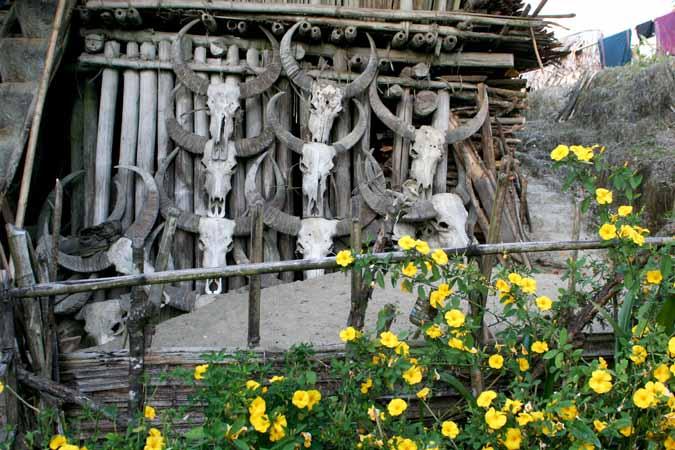 Waterbuffalo skulls.