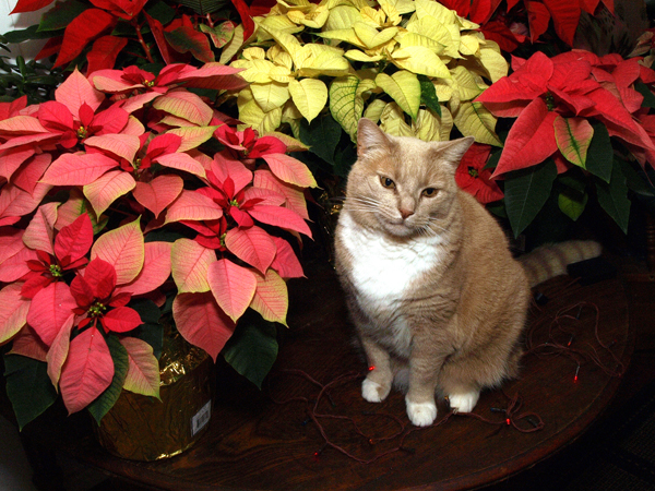Will Dog Die From Eating Poinsettia