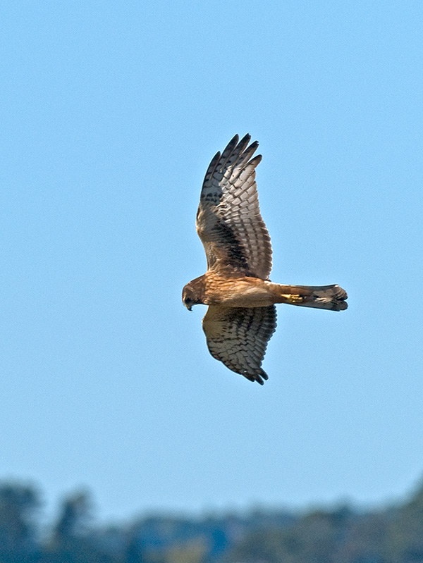 Northern Harrier  _9291689.jpg