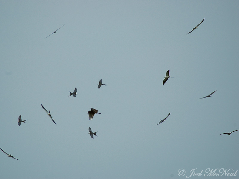 Swallow-tailed Kites and Turkey Vulture