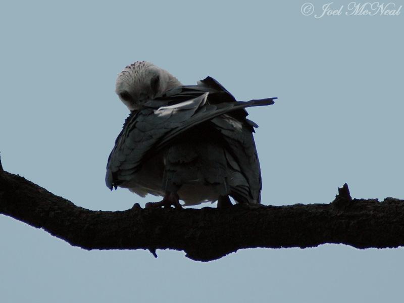 Swallow-tailed Kite preening