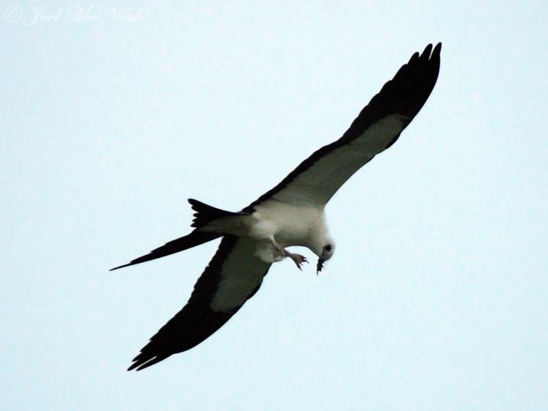 Swallow-tailed Kite eating Junebug