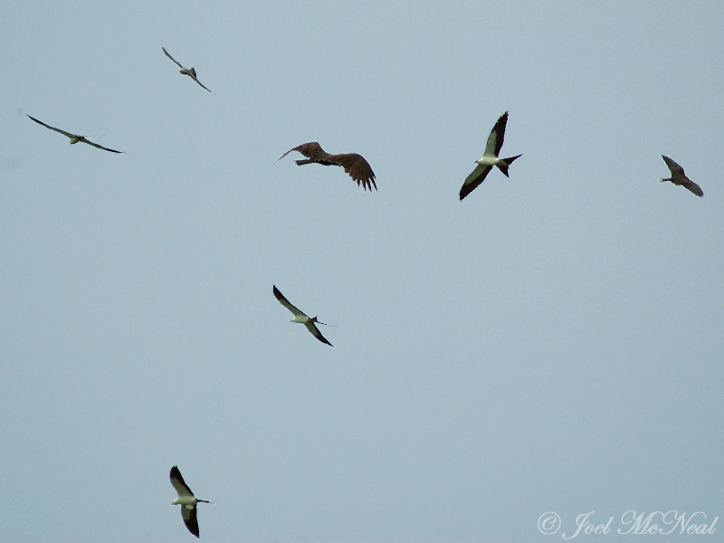 Swallow-tailed Kites, Mississippi Kite (top), and Turkey Vulture (middle)