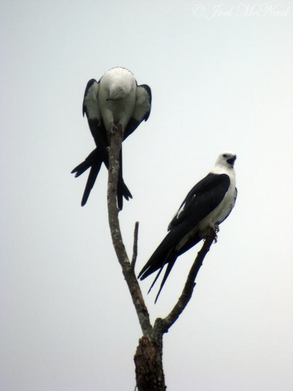 Swallow-tailed Kites (point-and-shoot through scope)