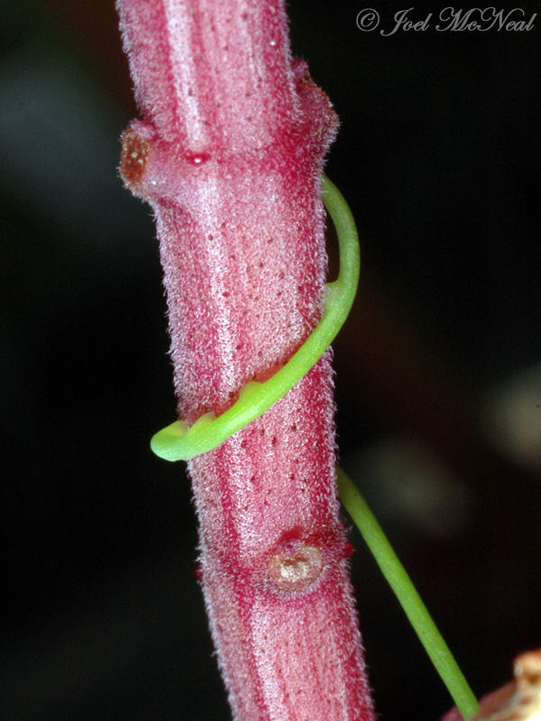 <i>Cassytha filiformis</i> haustoria