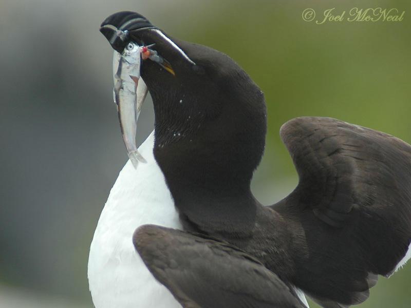 Razorbill with capelin prey