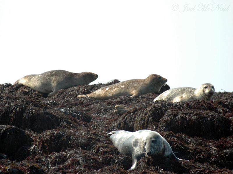 Harbor and Gray Seals