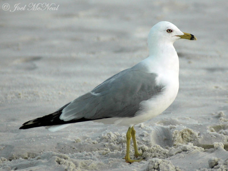 Ring-billed Gull: <i>Larus delawarensis</i>