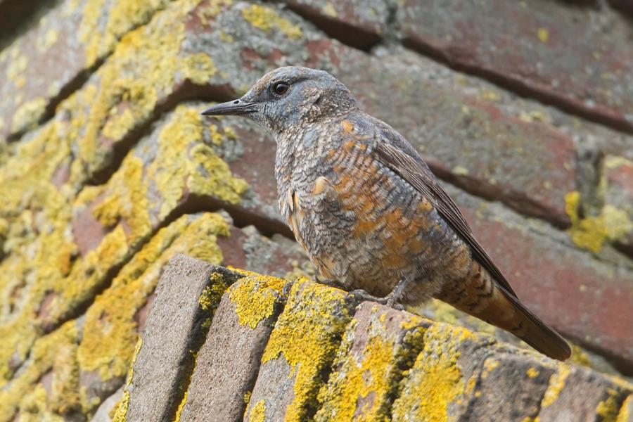 Rufous-tailed Rock-Thrush - Rode Rotslijster