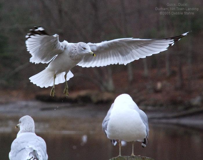 Duck! Im Landing.