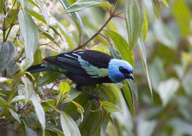 Blue-necked-Tanager.jpg