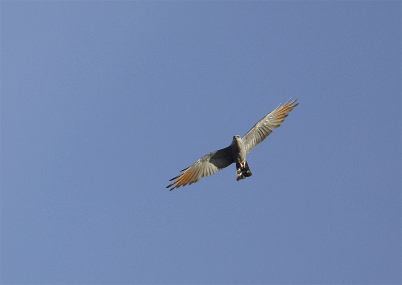Plumbeous-Kite.jpg