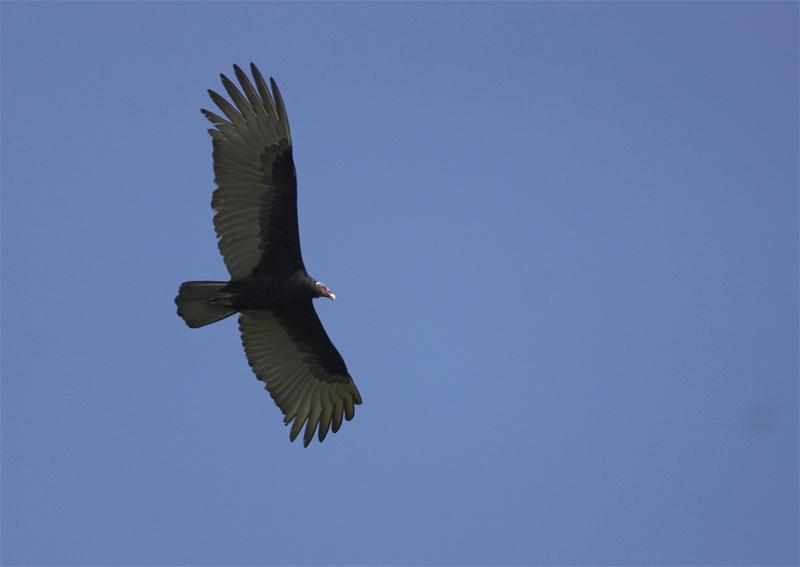 Turkey-Vulture.jpg