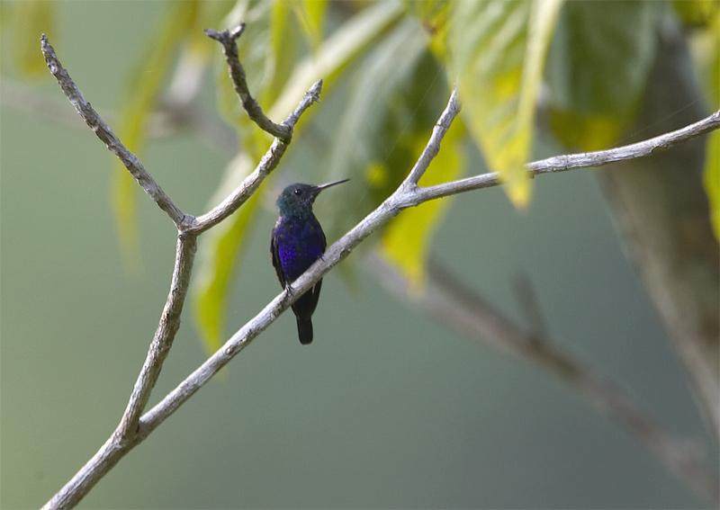 Violet-bellied-Hummingbird.jpg