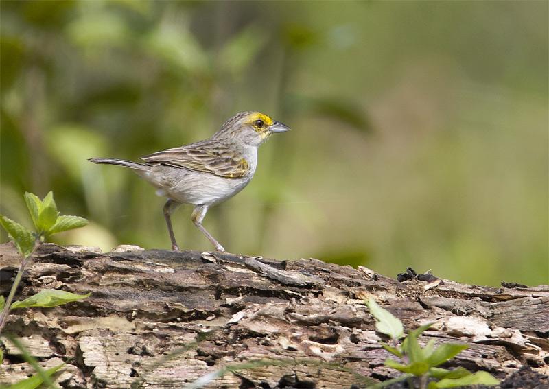 Yellow-browed-Sparrow-2.jpg