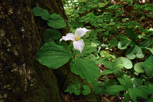 Large White Trillium 1