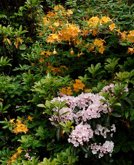 Flame Azalea & Mountain Laurel