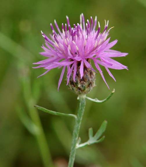 Spotted Knapweed 1