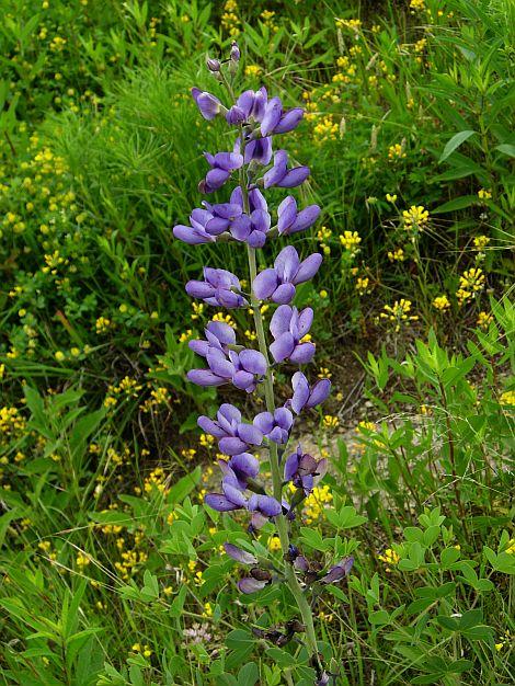 Blue Wild Indigo (Baptisia australis)