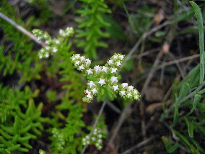 Widows Cross (Sedum pulchellum)