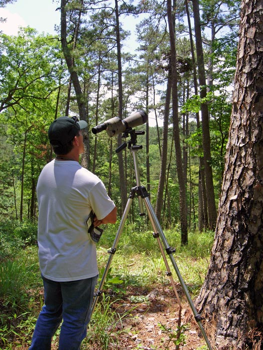 Looking at Red-cockaded Woodpeckers