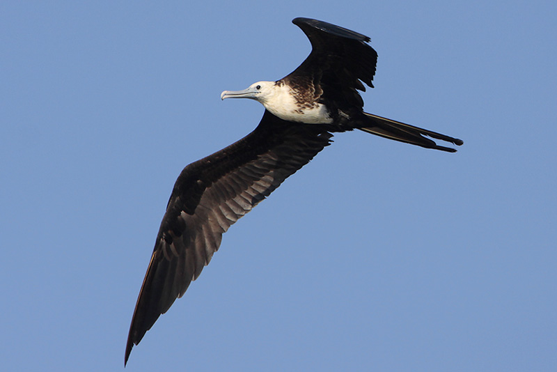 Magnificent Frigatebird immature