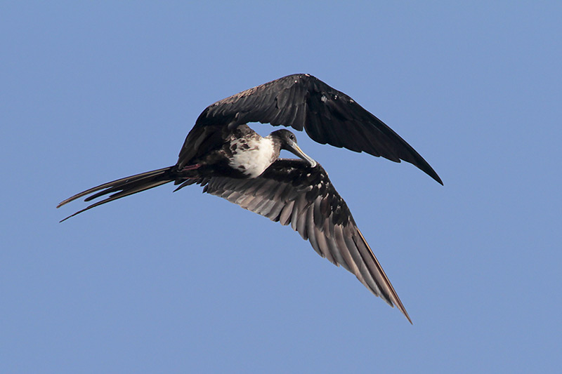 Magnificent Frigatebird adult female