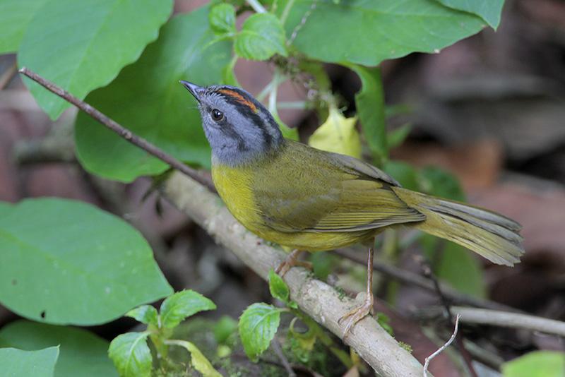 Russet-capped Warbler