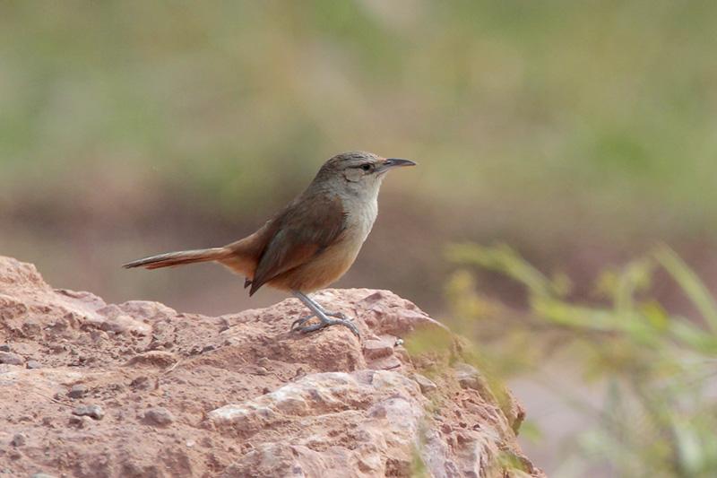 Streak-fronted Thornbird