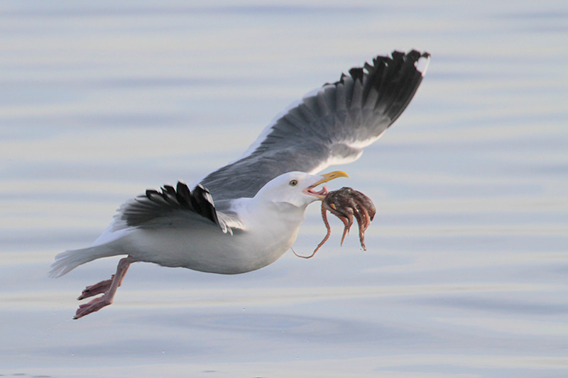 Western Gull with Octopus