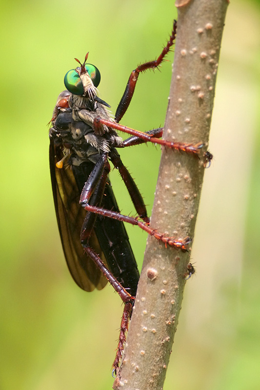Microstylum morosum (female)